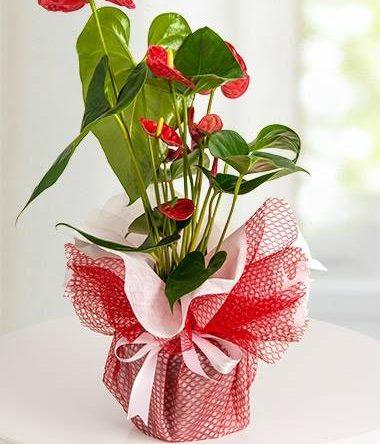 Antoryum Saksı çiçek